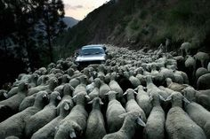 Sergei Granovski's photo is a brilliant story starter. Where did the sheep come from? Did the car ever get past?