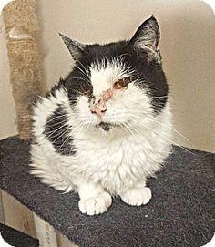 tama, IA - Domestic Shorthair. Meet Domino, a cat for adoption. http://www.adoptapet.com/pet/17761671-tama-iowa-cat