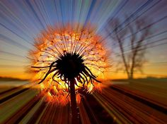 One of the best Dandelion flower photographs I've seen. By Linda Stokes.