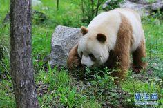 Panda color café. Único en su especie. Beeelloooooooo