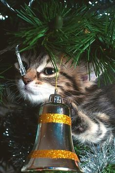 kitty has christmas spirit, or just wants to destroy the tree...