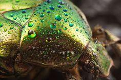 Iridescent Beetle by Araminta Studio, via Flickr