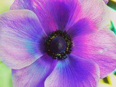#flower #flor #anemona #macro