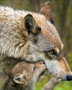 Kisses for mama wolf Wolf Photos, Wolf Pictures, Animal Pictures, Free Pictures, Cute Baby Animals, Animals And Pets, Funny Animals, Wild Animals, Strange Animals
