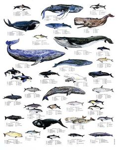 whale = la ballena [bah-ee-eh=nah] or [bah-YEH-na] :) Whales Hvaler Wale ~ Marine Life Charts from Scandinavian Fishing Year Book (many other charts there!) via Remodelista Orcas, Save The Whales, Kinds Of Whales, Ocean Creatures, Killer Whales, Sea World, Ocean Life, Under The Sea, Dolphins