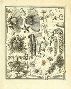 Das entdeckte Geheimniss der Natur im Bau und in der Befruchtung der Blumen;  von Christian Konrad Sprengel, 1793