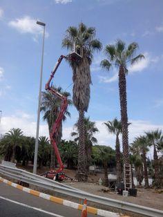 Poda de palmeras tipo Washingtonia 19m