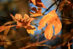 Sassafras leaf at Montfair Resort Farm!