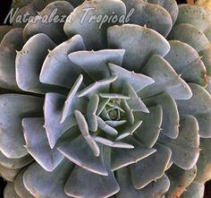 Rosa de Mármol, Echeveria pollox