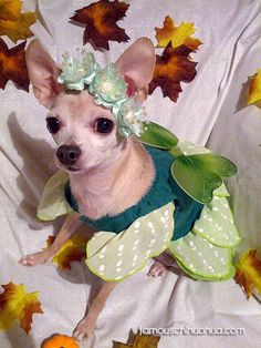 A pretty little fairy chi!  Perfect Halloween Dog Costume!
