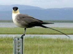 Long-tailed Jaeger (Stercorarius longicaudus) (known as the Long-tailed Skua outside the Americas) is a seabird in the skua family Stercorariidae.