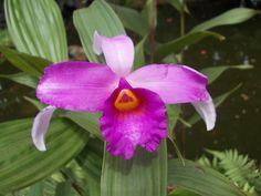 orchid DWARF SOBRALIA / SOBRALIA-ANÃ