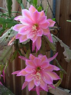 """Orchid Cactus """"Wonderful One"""""""