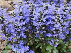 Ajuga reptans 'Chocolate Chip' Bugle x 3 plants Plants4Less http://www.amazon.co.uk/dp/B008N8Z6O6/ref=cm_sw_r_pi_dp_VDVAvb0CBFME0