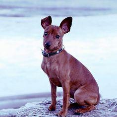 Model in -5°c #lykke #dvergpincher #miniaturepinscher #minpin #puppy #dog #hund #valp #winter #oslo