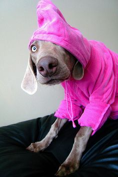 """The pink top is cute and all but I am not a Wegman"" #Weimaraner"