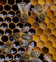 honeycomb - if bees were wiped off the earth, humans would have less than four years left to live because bees pollinate most of our food supply.
