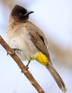 The Common Bulbul (Pycnonotus barbatus) is  found much over Africa and Asia.It is a common resident breeder in much of Africa. It is found in woodland, coastal bush, forest edges, riverine bush, montane scrub and in mixed farming habitats. It is also found in exotic thickets, gardens and parks.