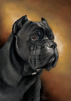 cane corso portrait by bubumo