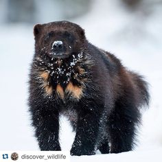 Wild Wolverine in Finland in winter Winter Photography, Animal Photography, Zoo Animals, Cute Animals, Wolverine Tattoo, Wolverine Animal, Quokka, Wolverines, Animal Tattoos