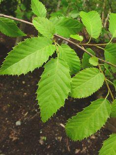 Carpinus caroliniana - American Hornbeam
