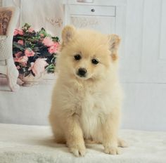 #PomLove 🥰😍 Absolutely #Adorable and sweet!! #Pom puppies are lively lil' dogs that are sure to charm you with their antics. ▬▬▬▬▬▬▬▬▬▬▬▬▬▬▬▬▬▬▬ #Charming #PinterestPuppies #PuppiesOfPinterest #Puppy #Puppies #Pups #Pup #Funloving #Sweet #PuppyLove #Cute #Cuddly #Adorable #ForTheLoveOfADog #MansBestFriend #Animals #Dog #Pet #Pets #ChildrenFriendly #PuppyandChildren #ChildandPuppy #BuckeyePuppies www.BuckeyePuppies.com