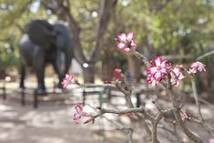 Impala lilly and the elephant statue at the museum in Letaba Kruger National Park, Camps, Impala, Tattoo Ideas, Elephant, Rest, Museum, Statue, Elephants