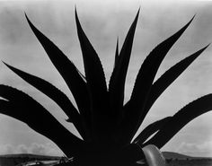 Maguey Cactus, Mexico 1926 | From a unique collection of still-life photography at http://www.1stdibs.com/art/photography/still-life-photography/