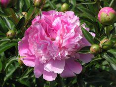 Im Mai und Juni begeistern Edel-Pfingstrosen (Paeonia-Hybriden) mit ihren üppigen Blüten. Ob Weiß, Rosa, Rot oder Gelb: Inzwischen ist eine große Farbpalette erhältlich – man hat also die Qual der Wahl! Juni, Flowers, Plants, Hydrangeas, Peonies, Daffodils, Farmhouse Garden, Lilies, Plant
