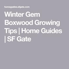 Winter Gem Boxwood Growing Tips