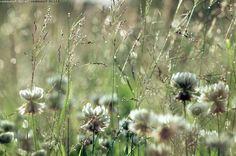 Luonnonniitty 2 - niitty kesäinen kukkaketo apila apilat valkoapila valkoapilat heinä heinät luonnoniitty luonnonkukka luonnonkukat