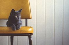 Gray cat, yellow chair, yellow eyes.