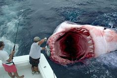 World & Pics : The Biggest Shark In The World (Megalodon) I guess red worms would not be good bait.