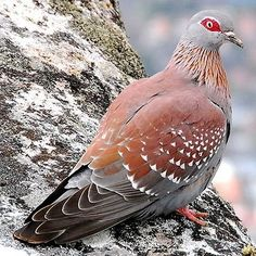 Speckled Pigeon is widespread  throughout Sub-Saharan Africa as well as urban and suburban regions.