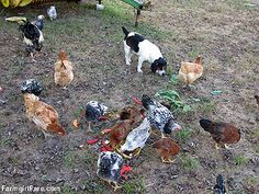 Snackbert on alert. Chicken treats - they aren't just for chickens! :) 8 photo series  on Farmgirl Fare.