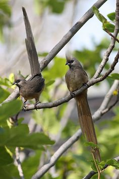 The Speckled Mousebird, Colius striatus, is quite gregarious and very social. They engage in mutual preening and feed together in groups. They scamper mouse-like along branches and climb using their bills and feet.