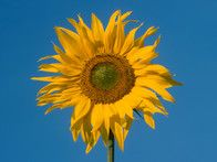 Unravel a variety of colorful garden designs with this sunflower photo gallery from HGTV Gardens.