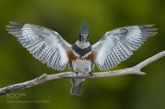 Female Belted Kingfisher by Dave_v via http://ift.tt/2iEmzYn
