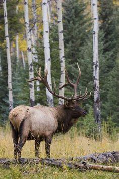 Elk Hunting Tips, Elk Pictures, Animal Photography, Hunting Photography, Nature Photography, Big Deer, Deer Art, Moose Art, Bull Elk