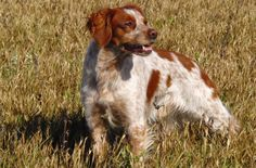 Orange French Brit Brittany Spaniel Puppies, Dog Breeds, Dogs And Puppies, Animals, French, Bird, Orange, Wall, Animales