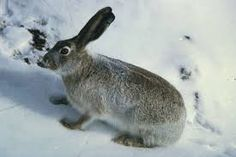 snow rabbits - Google Search
