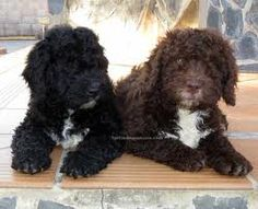 Spanish Water Dog - puppies
