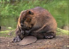 beaver | Chubby and adorable sitting beaver