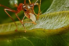 Weaver ants (Oecophylla) use their larvae as glue guns, inducing them to produce silk and using this to connect leaves together