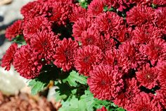 Chrysanthemums are one of the heralds of fall. Propagating mums can be from seed, started from division or even from cuttings. With so many ways to propagate it is easy to learn how to start mums. Read more here.
