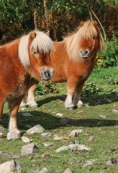 Hevosia poneja minihevosia