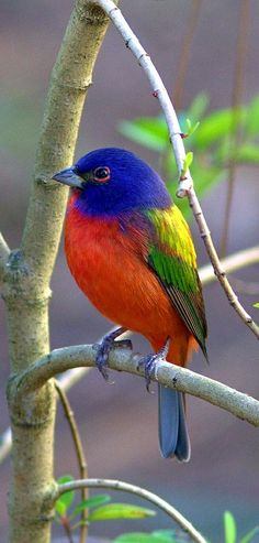 Colorful birds - Painted Bunting (male) - by Kenneth Cole Schneider
