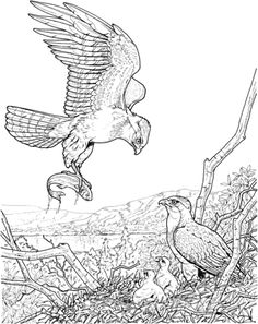 American Bald Eagle Coloring page My Coloring Book Pinterest