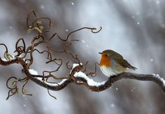 Photograph by Tommy Eliasson  | Bilden tagen i min trädgård en morgon med lätt snöfall