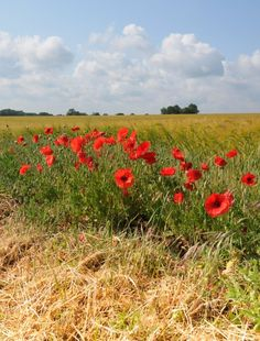 Poppies on edge of wheatfield at Caston   Contributed by: Alan Porter